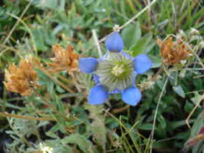 A Gentian Flower