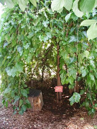 Weeping Mulberry with kid size tree stump seats inside