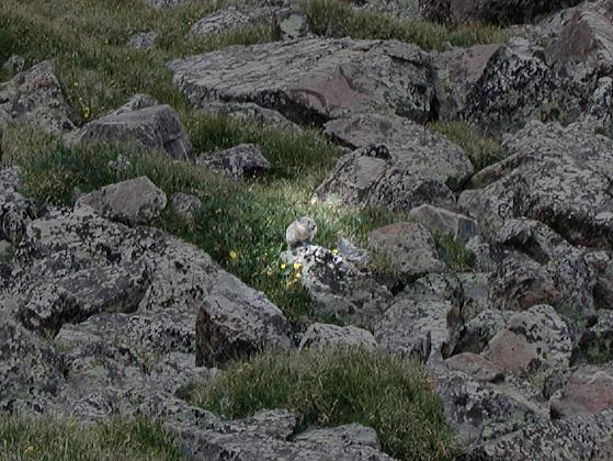 A pika (they squeak at you while you hike)