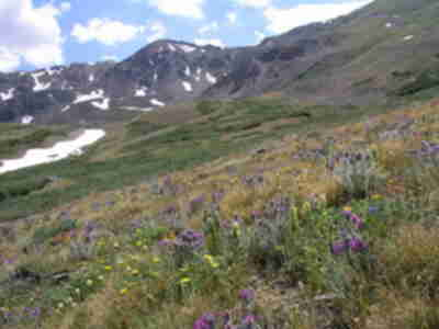 Mountain wildflowers in Missouri Gulch