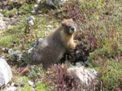 A marmot along the trail...