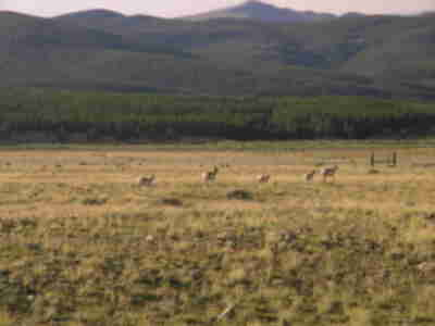 Small heard of pronghorns trotting away near trailhead
