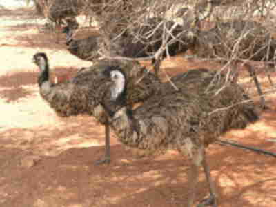 Emus at the Erldunda Roadhouse (Stuart Highway)
