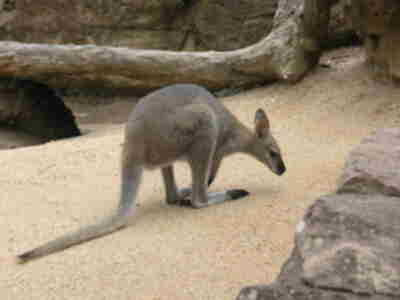 A wallaby at the Taronga Zoo