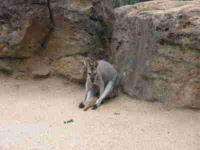 A wallaby on a smoke break at the Taronga Zoo
