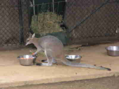 Wallaby snacktime