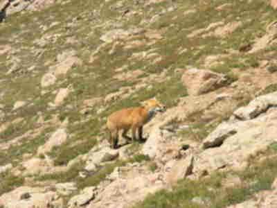 A fox up on Mt. Crested Butte