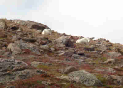 Mountain Goats along the trail