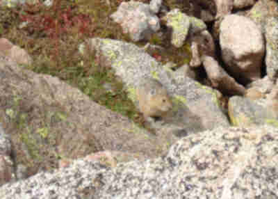 A pika along the trail