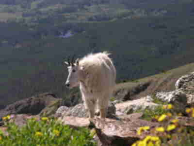 A friendly goat at the summit