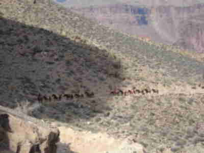 A mule train, ascending the trail with supplies