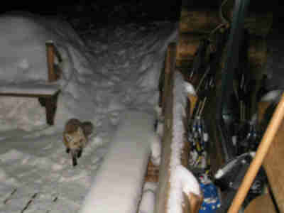 A curious fox visits the hut