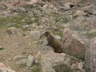 Another marmot decides to check us out