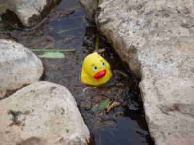 A lone duck gets stuck in the rocks....it almost looks sad!