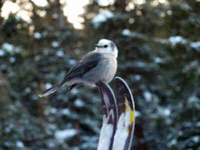 A Gray Jay on Brian's skis