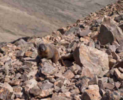 A marmot stops his digging for a photo op