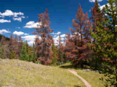 Switching from the spruce forest back to the (now dead) lodgepole pine forest