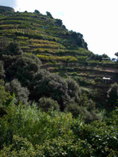 Looking up at the terraced vineyards above the trail