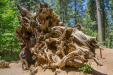 Lisa and giant sequoia roots