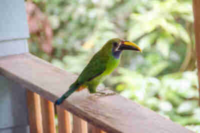 A resident toucannette that regularly visited our house