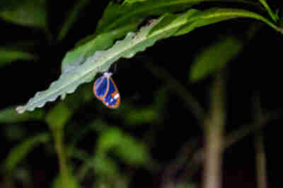 A glass wing butterfly sleeping at night