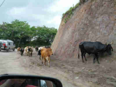 A cattle drive on our road while heading towards the beach