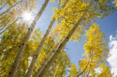 Sun bursting through fall aspens