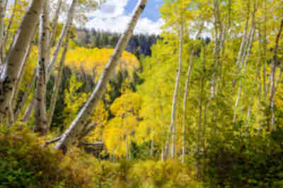 Fall aspens on a Colorado hillside