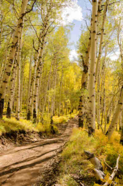 A road through the aspen forest