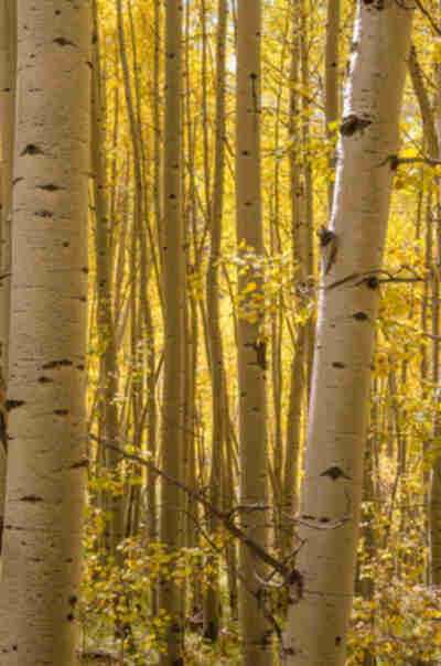 Aspen forest in fall yellow